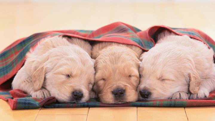 Cute Three Little White Puppies Sleeping